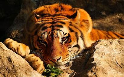 Tiger Background Wallpapers Desktop Viewing Laptop Iphone