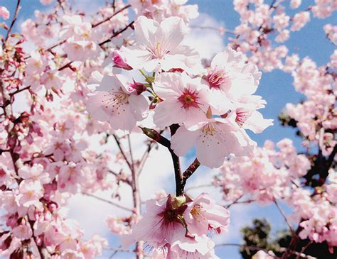 Cherry Blossom Japanese Flowers