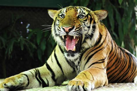 Tiger With Open Mouth Photo Image Picture Free Download