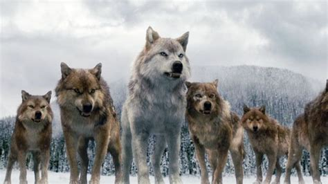 Alpha Wolf Wolf Pack Wallpaper by A Pack Of Wolves In Twilight Wolves And Their
