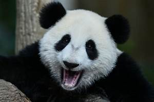 Five things to know about China's panda conservation programme