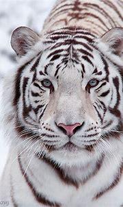 White Bengal Tiger | Tiger pictures, White tiger, White ...