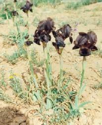 schwarze lilie blume iris blume