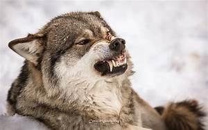 Angry Scandinavian Gray Wolf | Flickr - Photo Sharing!