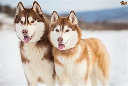 Siberian Husky Dog Dogs Copper Colors Orange