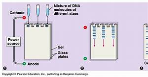 Gel Electrophoresis Lab  Principles Of Gel Electrophoresis