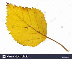 Autumn leaf. Single fall leaf against white. Natural ...