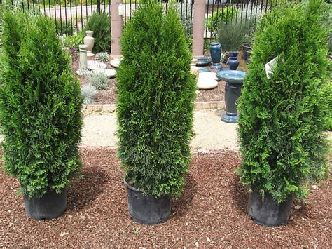 best bushes for hedges how to plant a hedge how tos diy