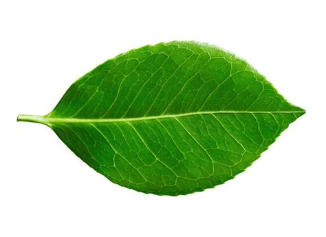 How to Identify Deciduous Trees by Their Leaf