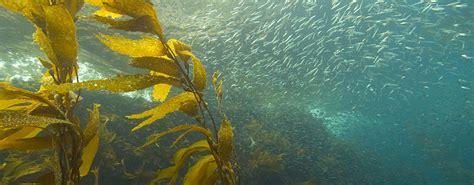 lives   kelp forest