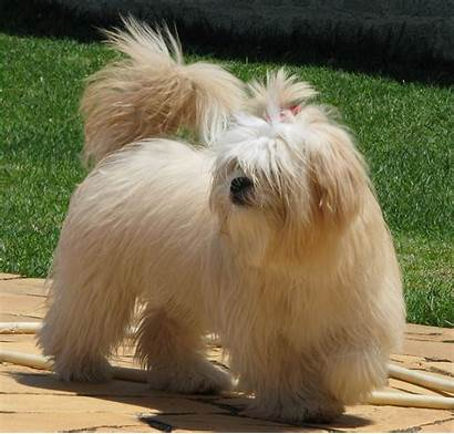 Lhasa Apso Dog Breeds Facts Training