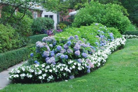 hydrangea border garden blue hydrangea hedge with white border gardens pinterest hydrangea