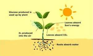 Plants in Elevated CO2: Stimulated Photosynthesis, Good ...