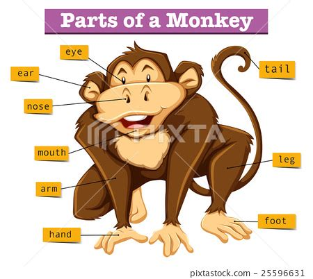 diagram showing parts of monkey stock illustration