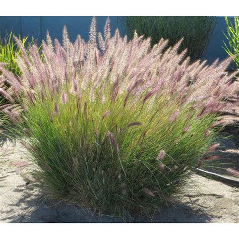 fountian grass pennisetum bajra fountaingrass grass fountain millet pearl