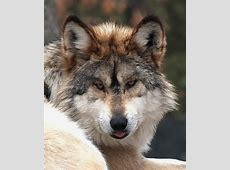 National Animal Of Italy Wolf 123Countriescom