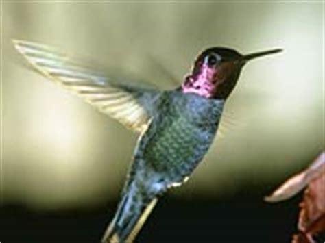 hummingbird animals town