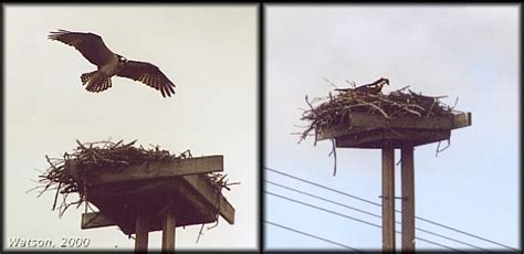rideau canal waterway photo osprey and nest