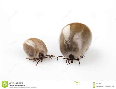 Two Blood-sucking Ticks Stock Photo