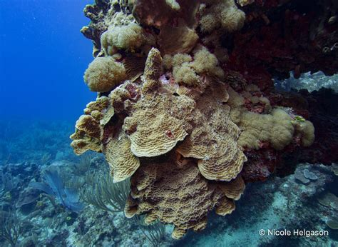 coral hard corals lettuce identification part caribbean basic diver