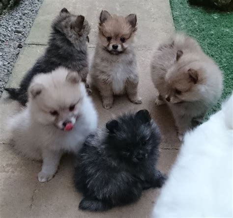 Rare Pomeranian Colors | Pomeranian Puppies 1 Cream Rare ...