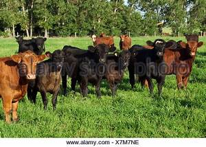 Herd Auf Englisch : herde mit der k he und k lber auf der weide von einem bauernhof milchstra e k he trockenen ~ Orissabook.com Haus und Dekorationen