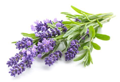 Und Lavendel by Lavendel Limonade Wie Sie Bei Kopfschmerzen Und