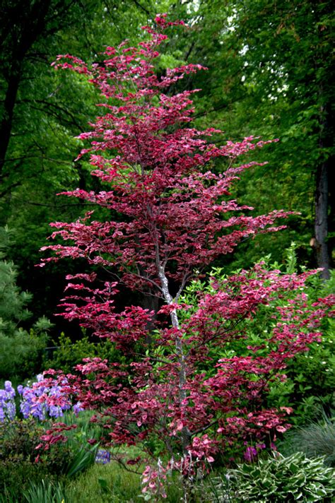 tricolor beech tri color beech for summer color and winter bark