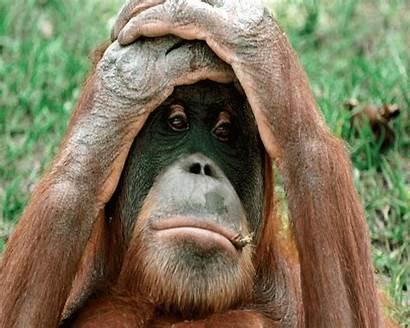 Funny Animals Wallpapers Animal Cool Desktop Gorilla