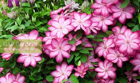 Clematis 'Liberty'. ... stock photo by Jonathan Buckley ...
