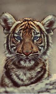 Female Malayan Tiger. Tattoo Inspiration   Malayan tiger ...