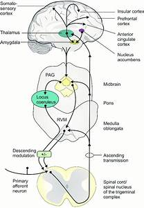 Pathways And Brain Regions Involved In The Transmission