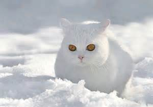 snow cats beautiful white cat in the snow cuteness