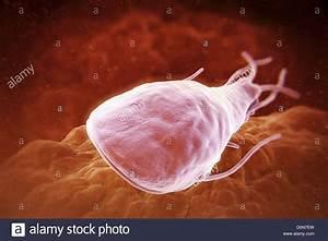 Giardia lamblia is a flagellated protozoan parasite. It ...