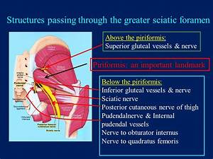 The Gluteal Region (Buttock) - ppt video online download