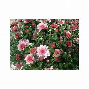 Dendranthema Hybride Balkon : chrysanthemum indicum hybrid sommerblomster home and ~ Lizthompson.info Haus und Dekorationen