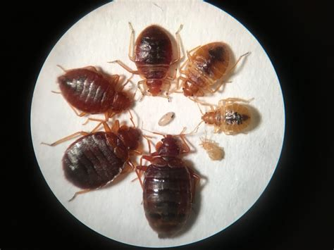 Do Bed Bugs Hop by What Do Bed Bugs Look Like Reader S Digest
