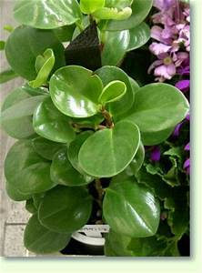 Zimmerpflanze Mit Roten Blättern : peperomia pflanzen f r blumenampeln pflanzenfreunde ~ Eleganceandgraceweddings.com Haus und Dekorationen