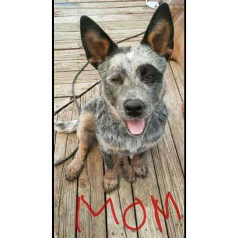 puppies  adoption blue heelerblack mouth cur mixed