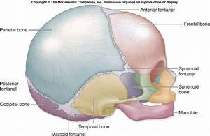 Skull Suture
