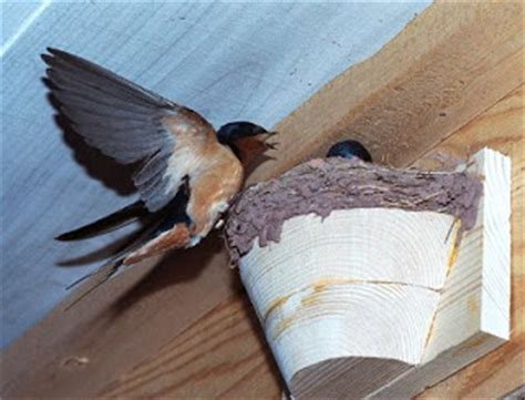 how to get rid of barn swallows on porch folkways notebook september 2010