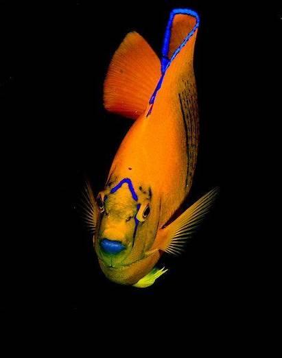Fish Angelfish Isn Saltwater Tanks Creatures