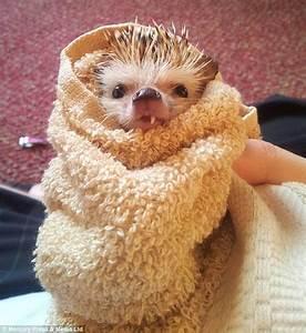 One toothed Hedgehog becomes internet sensation as owner ...