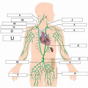 How Many Lymph Nodes Are In The Body