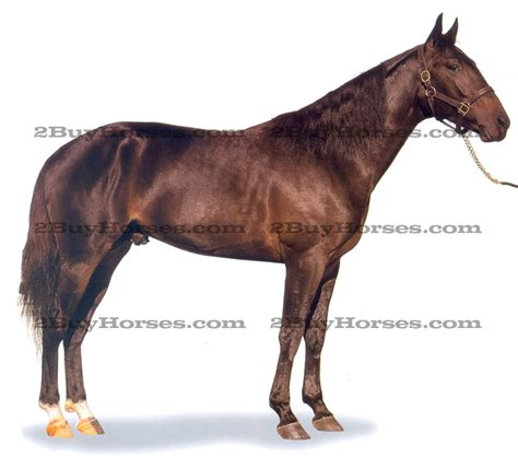 standardbred horses sale breed info pictures buyhorsescom