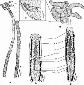 Line Drawings Of Rhinebothrium Persicum Sp  N   A  Whole