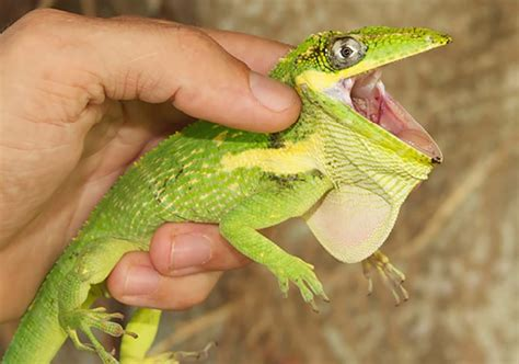 Knight Anoles Eat Fruit And Pass Viable Seeds