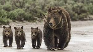 Grizzly: The Story of Mother Grizzly 399 and the Bears of ...  Grizzly