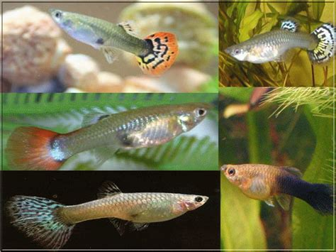 poissons d aquarium eau chaude d 233 marrer un aquarium et choix des poissons d eau chaude photos de poissons d eau chaude
