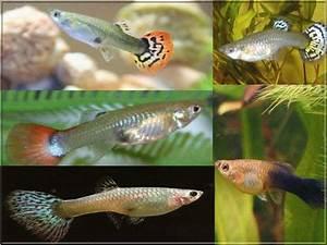 Poisson Aquarium Eau Chaude : poissons d eau chaude les poissons d 39 eau chaude les ~ Mglfilm.com Idées de Décoration